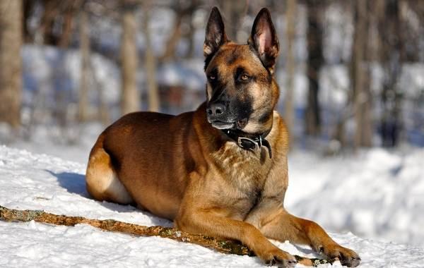 Малинуа-собака-Описание-особенности-виды-уход-и-цена-породы-малинуа-4