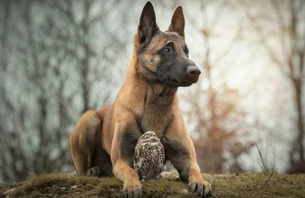 Малинуа-собака-Описание-особенности-виды-уход-и-цена-породы-малинуа-5