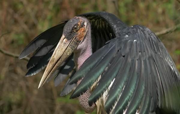 Марабу-птица-Описание-особенности-виды-образ-жизни-и-среда-обитания-марабу-10