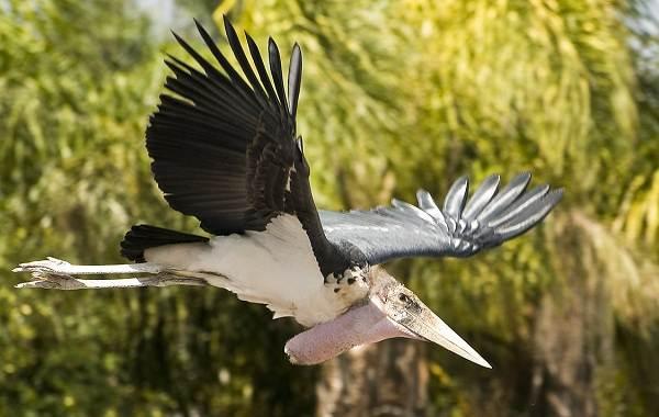Марабу-птица-Описание-особенности-виды-образ-жизни-и-среда-обитания-марабу-12