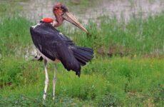 Марабу птица. Описание, особенности, виды, образ жизни и среда обитания марабу