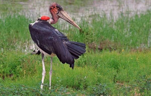 Марабу-птица-Описание-особенности-виды-образ-жизни-и-среда-обитания-марабу-14