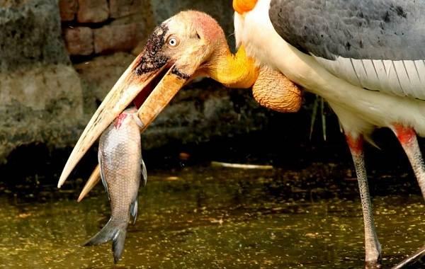 Марабу-птица-Описание-особенности-виды-образ-жизни-и-среда-обитания-марабу-3