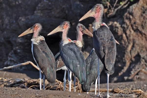 Марабу-птица-Описание-особенности-виды-образ-жизни-и-среда-обитания-марабу-4