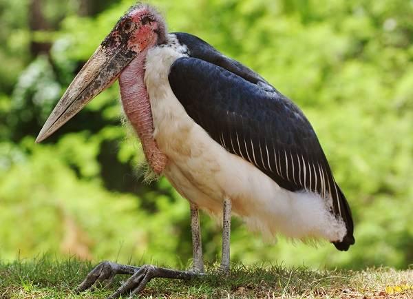Марабу-птица-Описание-особенности-виды-образ-жизни-и-среда-обитания-марабу-5