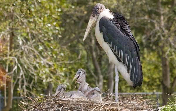 Марабу-птица-Описание-особенности-виды-образ-жизни-и-среда-обитания-марабу-8