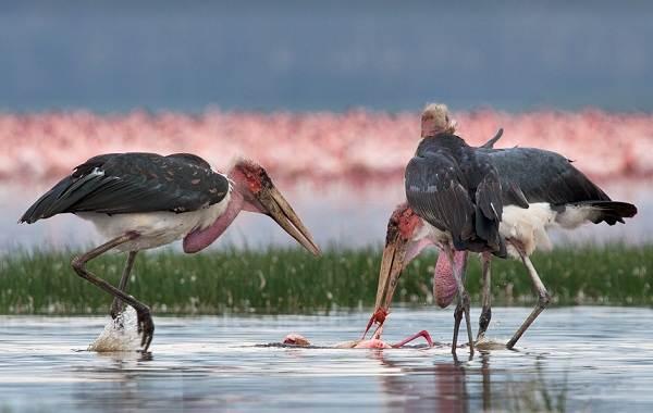 Марабу-птица-Описание-особенности-виды-образ-жизни-и-среда-обитания-марабу-9