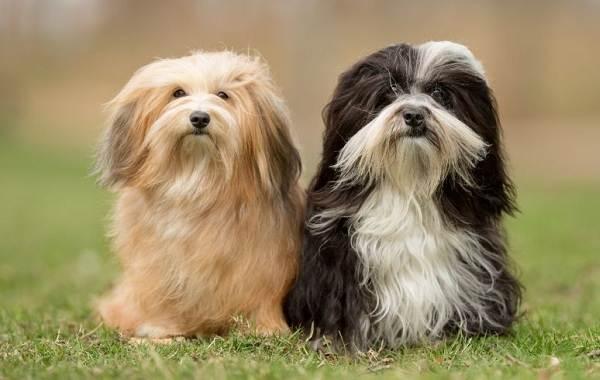 Мелкие-породы-собак-Описание-названия-виды-и-фото-мелких-пород-собак-1