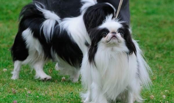 Мелкие-породы-собак-Описание-названия-виды-и-фото-мелких-пород-собак-10