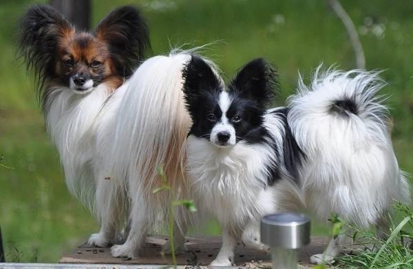 Мелкие-породы-собак-Описание-названия-виды-и-фото-мелких-пород-собак-11