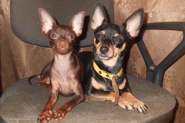 Мелкие-породы-собак-Описание-названия-виды-и-фото-мелких-пород-собак-12