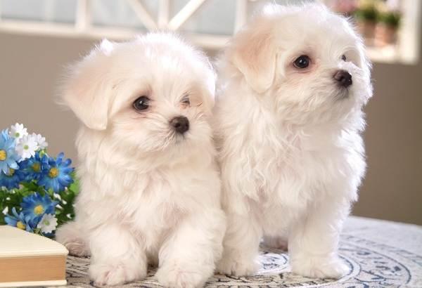 Мелкие-породы-собак-Описание-названия-виды-и-фото-мелких-пород-собак-13