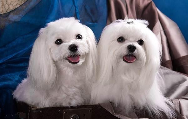 Мелкие-породы-собак-Описание-названия-виды-и-фото-мелких-пород-собак-14