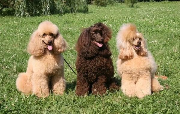 Мелкие-породы-собак-Описание-названия-виды-и-фото-мелких-пород-собак-15