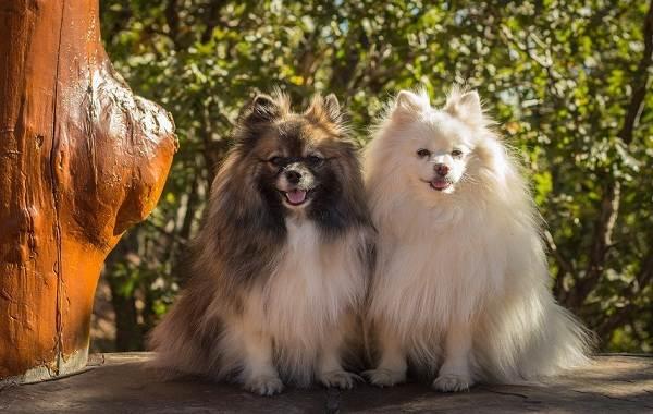 Мелкие-породы-собак-Описание-названия-виды-и-фото-мелких-пород-собак-16
