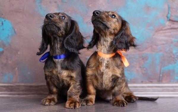 Мелкие-породы-собак-Описание-названия-виды-и-фото-мелких-пород-собак-17