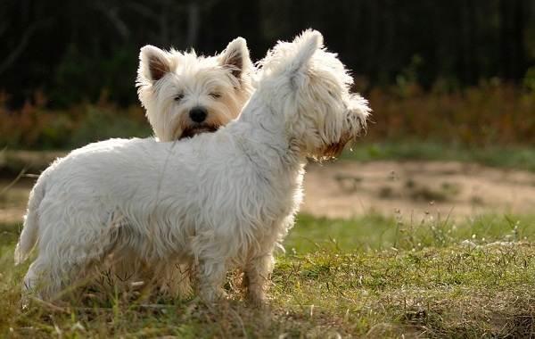 Мелкие-породы-собак-Описание-названия-виды-и-фото-мелких-пород-собак-18
