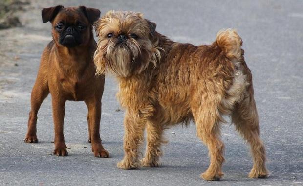 Мелкие-породы-собак-Описание-названия-виды-и-фото-мелких-пород-собак-19