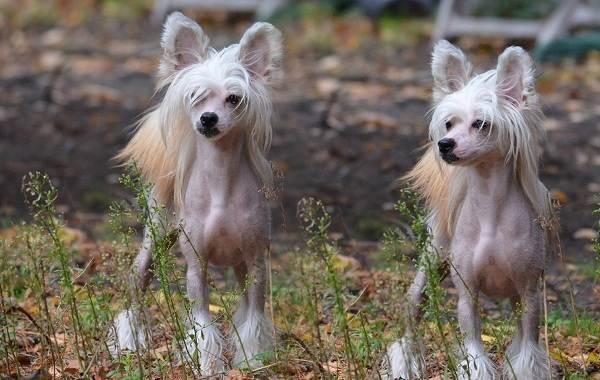 Мелкие-породы-собак-Описание-названия-виды-и-фото-мелких-пород-собак-2