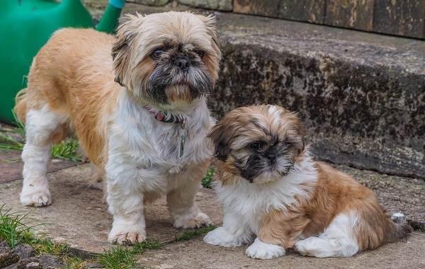 Мелкие-породы-собак-Описание-названия-виды-и-фото-мелких-пород-собак-3