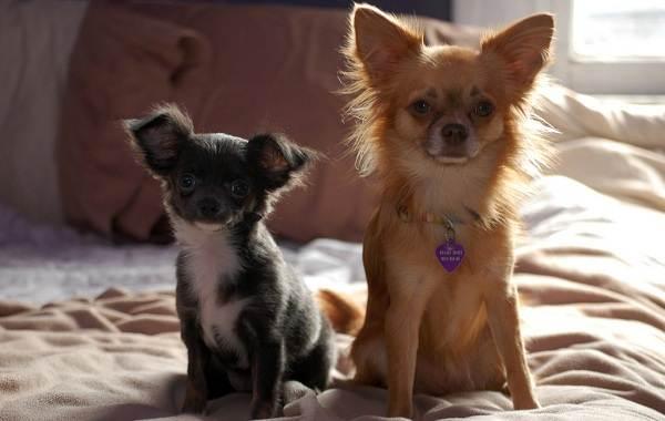 Мелкие-породы-собак-Описание-названия-виды-и-фото-мелких-пород-собак-4