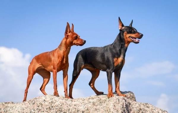 Мелкие-породы-собак-Описание-названия-виды-и-фото-мелких-пород-собак-5