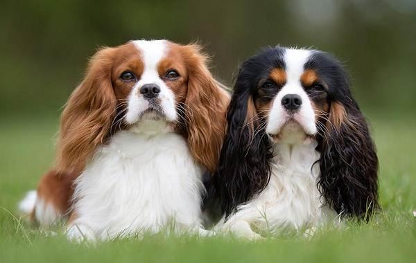 Мелкие-породы-собак-Описание-названия-виды-и-фото-мелких-пород-собак-7