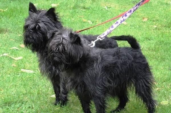 Мелкие-породы-собак-Описание-названия-виды-и-фото-мелких-пород-собак-8