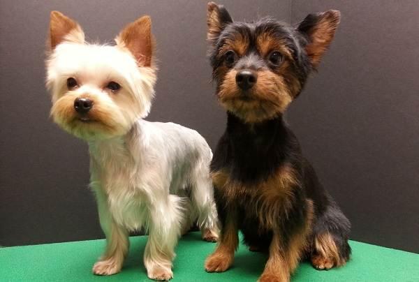 Мелкие-породы-собак-Описание-названия-виды-и-фото-мелких-пород-собак-9