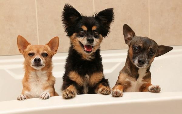 Мелкие-породы-собак-Описание-названия-виды-и-фото-мелких-пород-собак