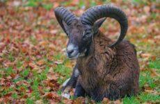 Муфлон животное. Описание, особенности, виды, образ жизни и среда обитания муфлона