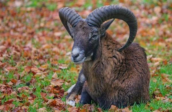 Муфлон-животное-Описание-особенности-виды-образ-жизни-и-среда-обитания-муфлона-1