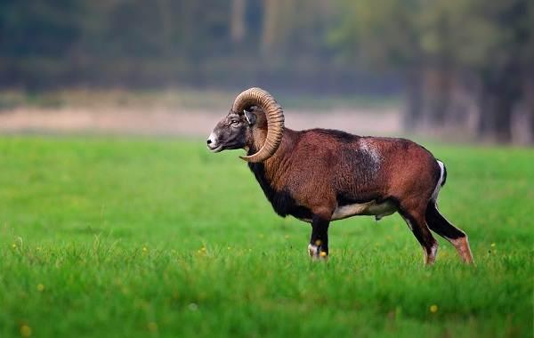 Муфлон-животное-Описание-особенности-виды-образ-жизни-и-среда-обитания-муфлона-12