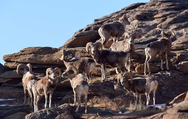 Муфлон-животное-Описание-особенности-виды-образ-жизни-и-среда-обитания-муфлона-13