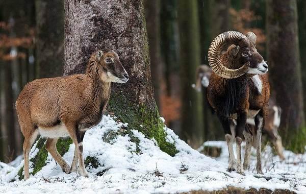 Муфлон-животное-Описание-особенности-виды-образ-жизни-и-среда-обитания-муфлона-2