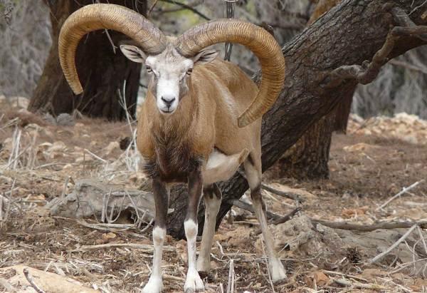 Муфлон-животное-Описание-особенности-виды-образ-жизни-и-среда-обитания-муфлона-5