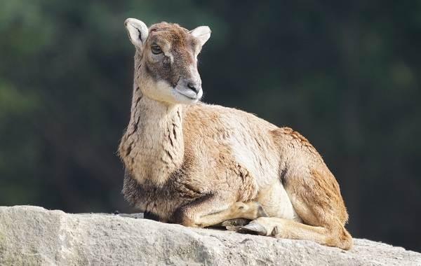 Муфлон-животное-Описание-особенности-виды-образ-жизни-и-среда-обитания-муфлона-6