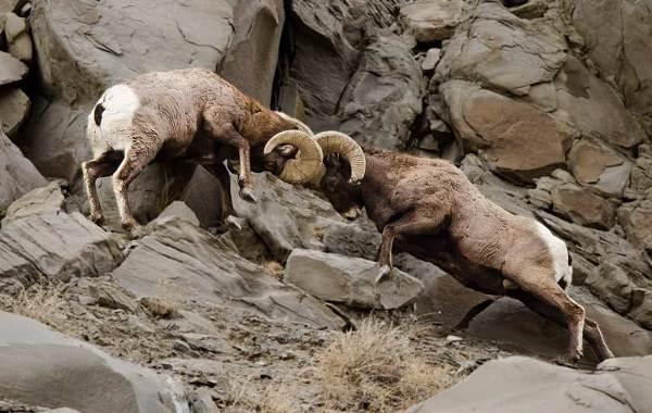 Муфлон-животное-Описание-особенности-виды-образ-жизни-и-среда-обитания-муфлона-9