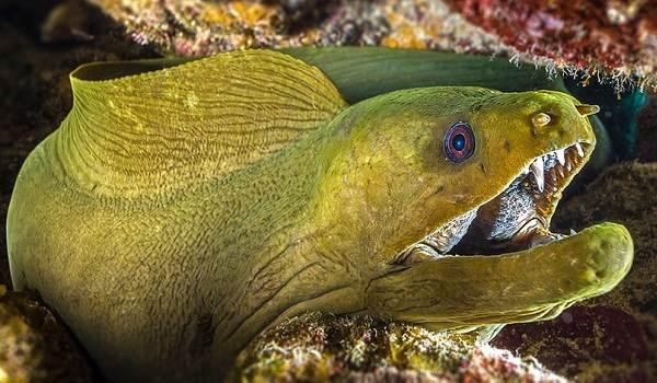 Мурена-рыба-Описание-особенности-виды-образ-жизни-и-среда-обитания-мурены-11