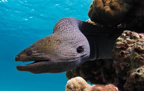 Мурена-рыба-Описание-особенности-виды-образ-жизни-и-среда-обитания-мурены-13