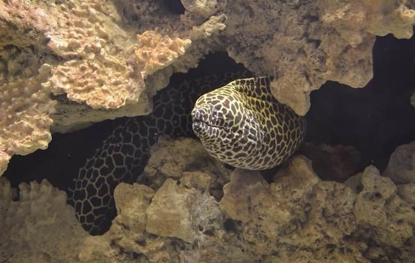 Мурена-рыба-Описание-особенности-виды-образ-жизни-и-среда-обитания-мурены-14
