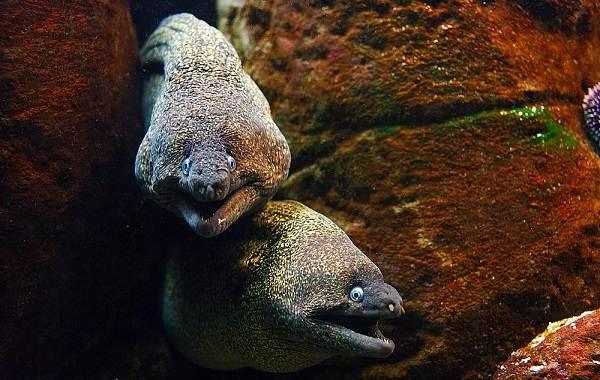 Мурена-рыба-Описание-особенности-виды-образ-жизни-и-среда-обитания-мурены-16