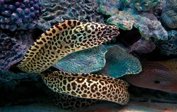 Мурена-рыба-Описание-особенности-виды-образ-жизни-и-среда-обитания-мурены-2