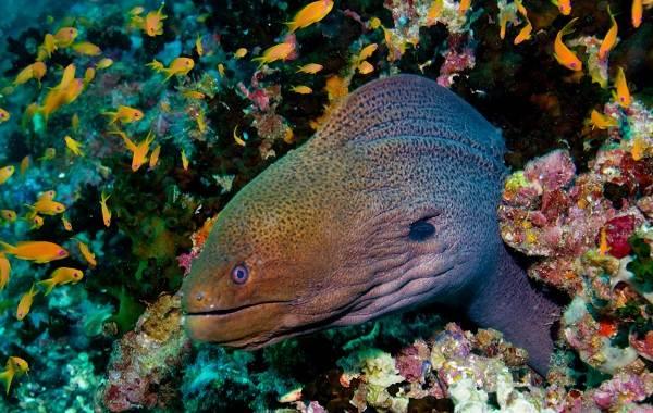 Мурена-рыба-Описание-особенности-виды-образ-жизни-и-среда-обитания-мурены-4