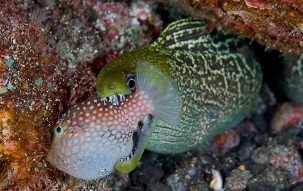 Мурена-рыба-Описание-особенности-виды-образ-жизни-и-среда-обитания-мурены-5