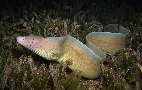 Мурена-рыба-Описание-особенности-виды-образ-жизни-и-среда-обитания-мурены-6
