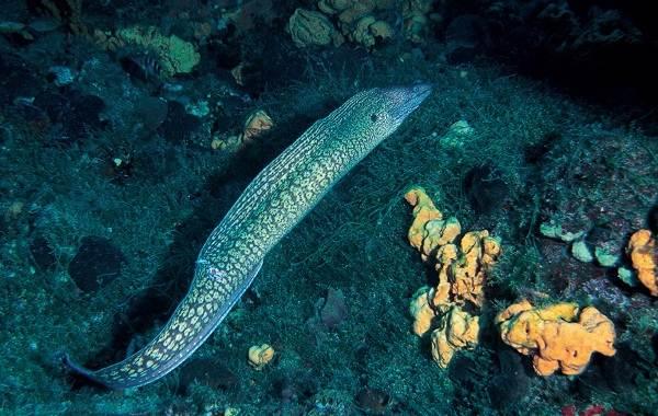 Мурена-рыба-Описание-особенности-виды-образ-жизни-и-среда-обитания-мурены-7