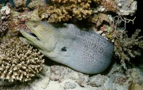 Мурена-рыба-Описание-особенности-виды-образ-жизни-и-среда-обитания-мурены-8