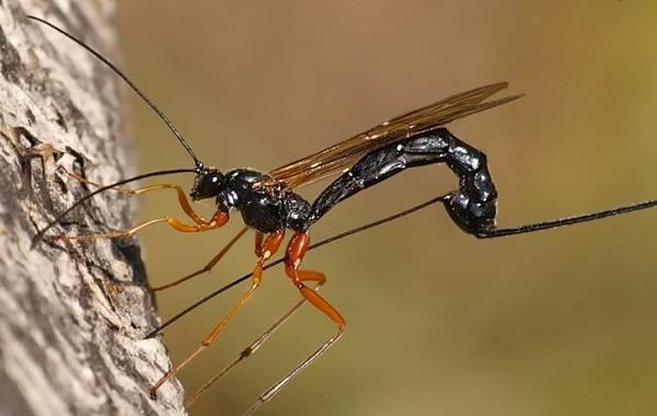 Наездник-насекомое-Описание-особенности-виды-образ-жизни-и-среда-обитания-наездника-11