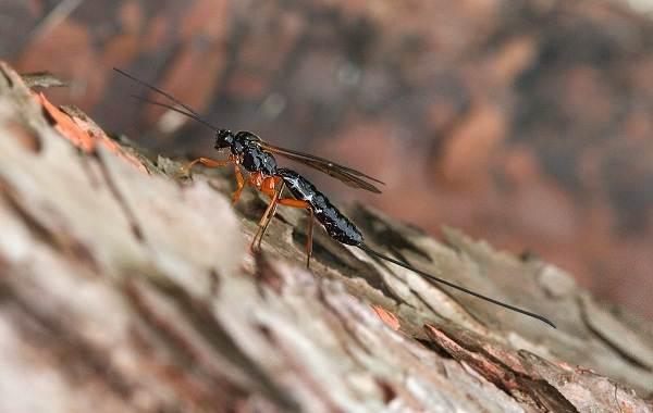 Наездник-насекомое-Описание-особенности-виды-образ-жизни-и-среда-обитания-наездника-13